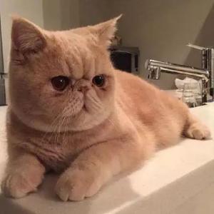 异国短毛猫加菲猫幼崽活体纯种