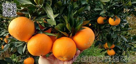 九月红脐橙