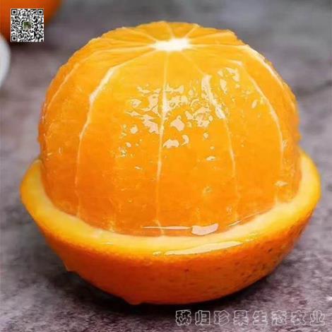 秭归九月红脐橙