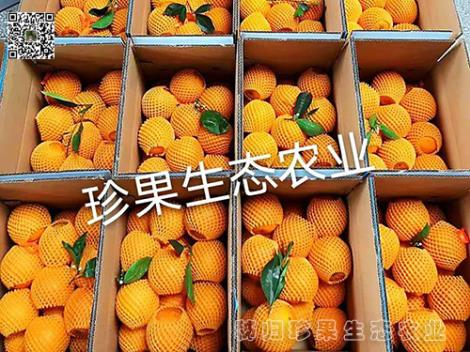 伦晚橙价格