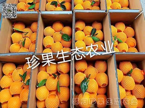 伦晚橙批发