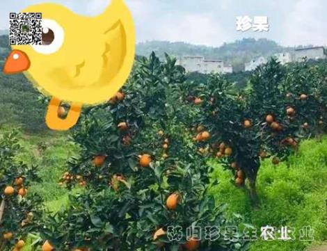 伦晚橙供应商
