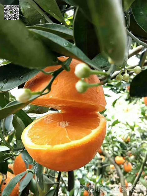 秭归伦晚橙