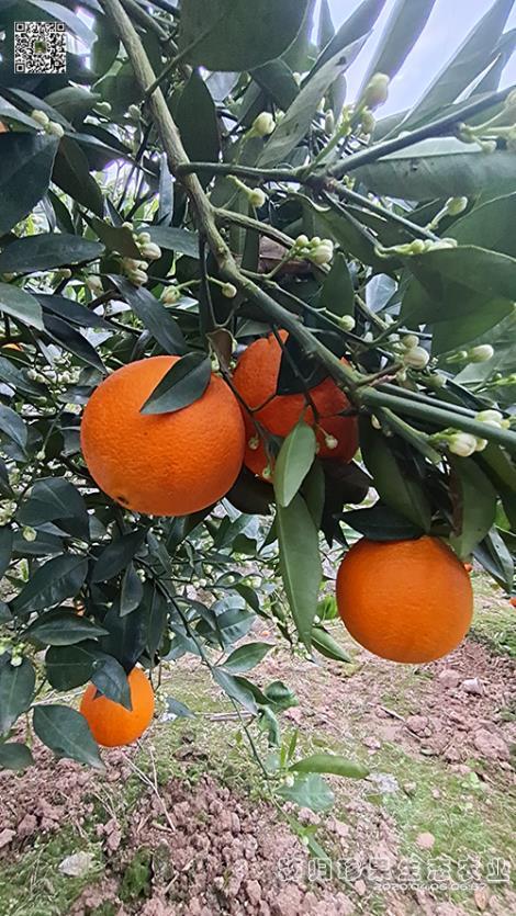 橙子供应商