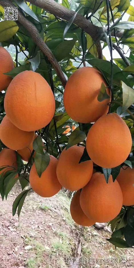长红橙种植