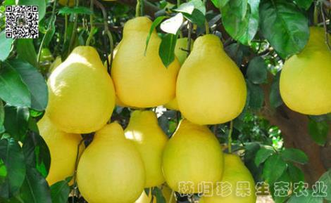 柚子供应商