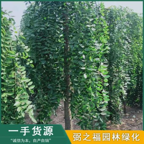 龍爪槐種植