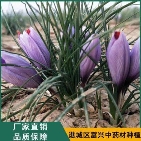 藏红花种球