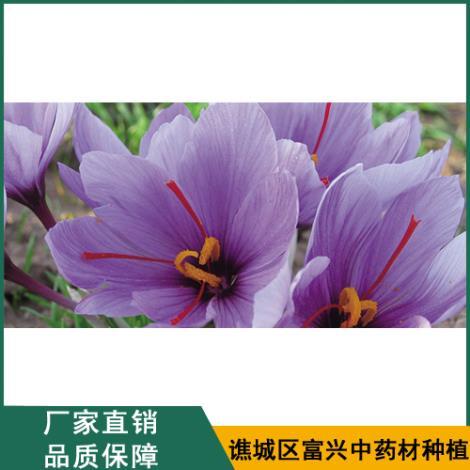 藏红花厂家