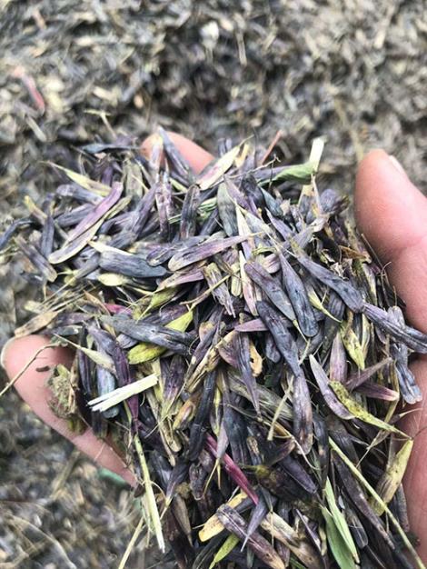 板藍根種子