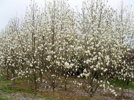 白玉兰种植