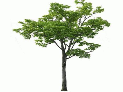 南京榉树价格