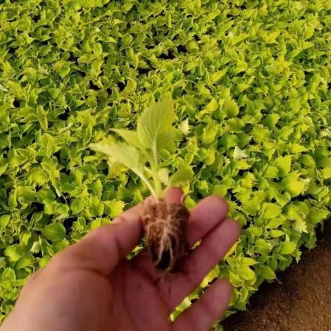 彩葉草穴盤苗
