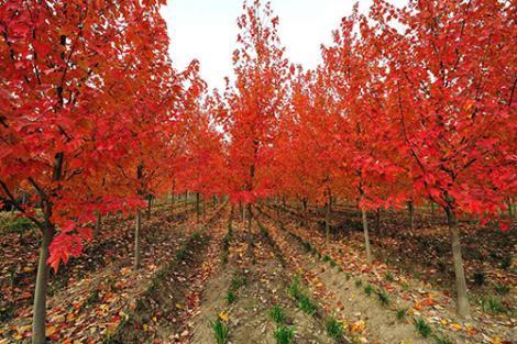 美国红枫供应